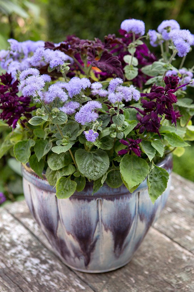 Pot of the month: June. Contains Ageratum houstonianum, purple bedding salvia and purple coleus. Photo by Sarah Cuttle. For tips on coleus care, see http://www.gardenersworld.com/plants/ageratum-houstonianum-blue-mink/2674.html