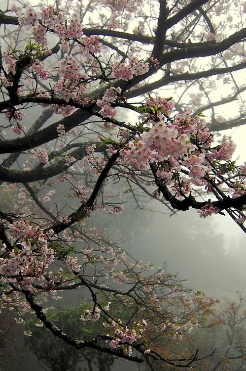 Cherry blossom trees!