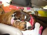 Boxer Sisters Emma & Zoey Sleeping On A Road Trip :) Boxers Of Palo Mesa Updates..: Photo