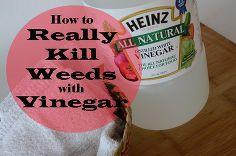 realmente matar as ervas daninhas com vinagre, flores, jardinagem, o vinagre do agregado familiar não vai matar as ervas daninhas Leia como matar REALMENTE ervas daninhas com vinagre