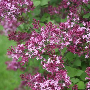 Reblooming, Compact, Darker that Bloomerang Lilac. New for 2013  Bloomerang® Dark Purple Syringa Lilac
