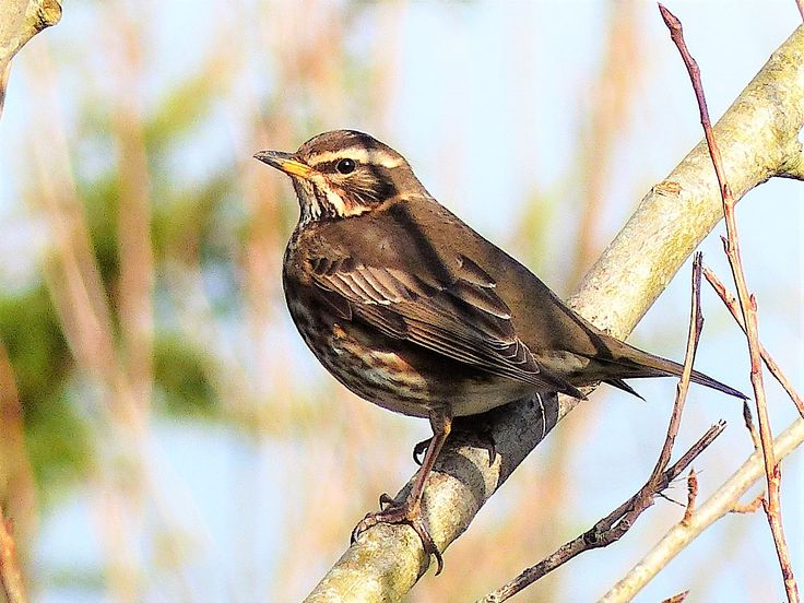 Redwing, Drumcliffe, February 2018.