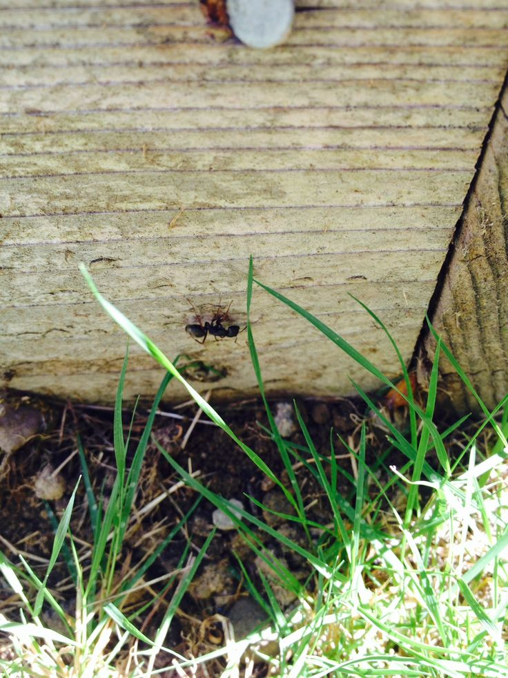 """Treating homes for carpenter ants in Everett, WA, as well as your town! This is often described as """"a big black ant"""", and is one of the most common ants here in the Pacific Northwest. They can cause structural damage, so call us today at 1-888-989-8979 for ant extermination."""