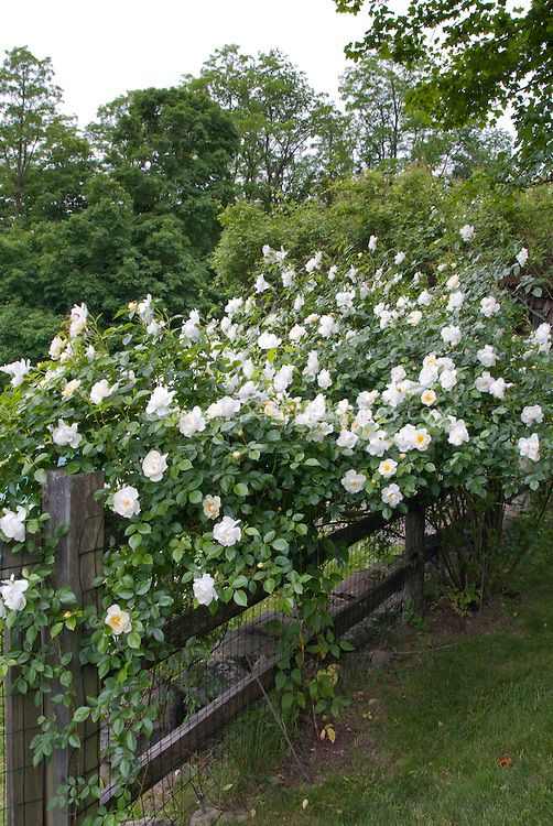 White Climbing Roses On Wooden Fence Rosa Nice Country