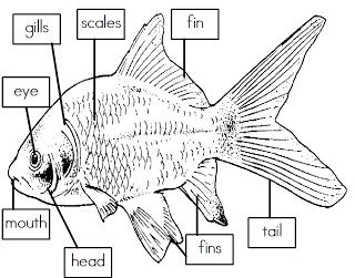 mrs i 39 s class label the parts of a fish freebie fish. Black Bedroom Furniture Sets. Home Design Ideas