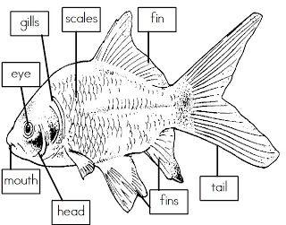 mrs  i u0026 39 s class  label the parts of a fish  freebie