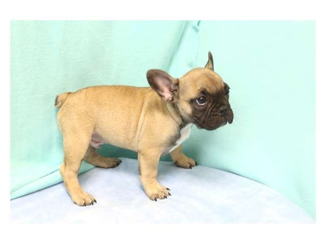 French Bulldog Los Angeles Pico Rivera Dogs Puppies For French Bulldog Puppies In California Silverblood Frenchies Blue And Tan French B Bulldog Puppies Bulldog Puppies For Sale French Bulldog Puppies