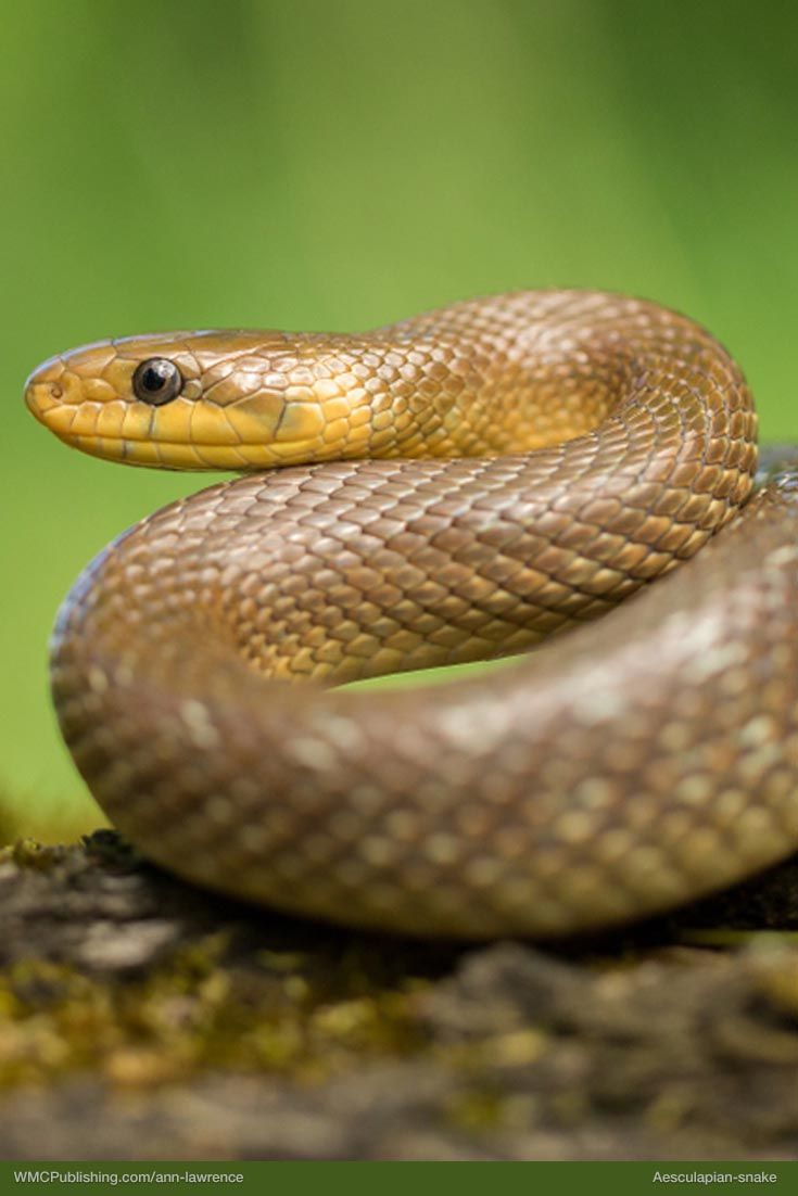 Aesculapian Snake Snake Dream Snake Animals