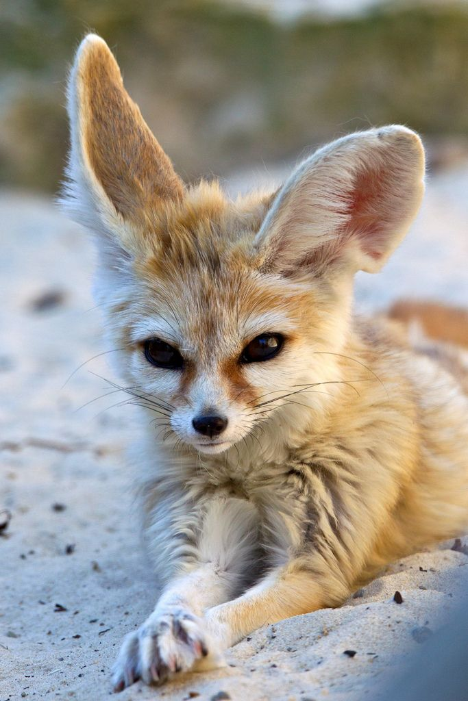 The fennec fox is a small nocturnal fox living in the Sahara of North Africa, distinguished primarily by its large ears.