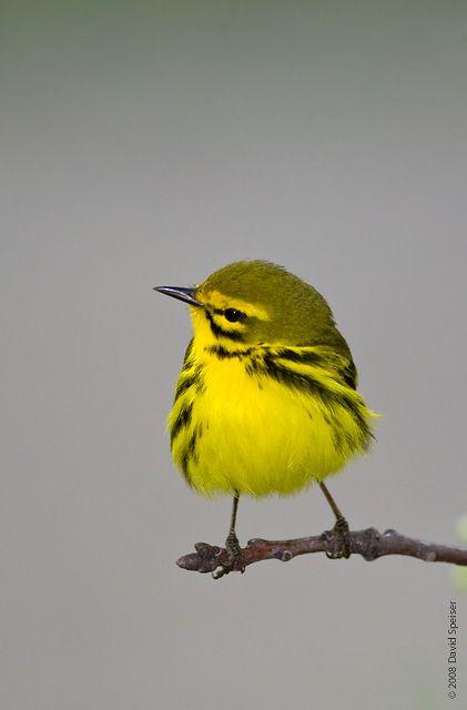 beautiful bird Prairie Warbler wild life photos