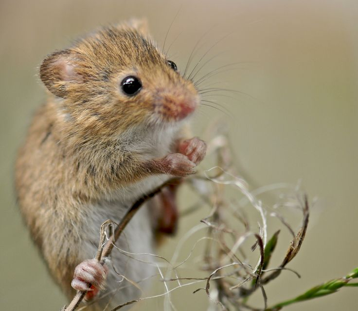 https://flic.kr/p/8wn18b | Field Mouse | Close up of a Field mouse using Nikon D300 and 105mm macro lens, handheld. Pete Foley Photos.