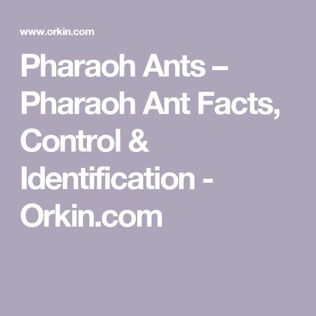 Pharaoh Ants – Pharaoh Ant Facts, Control & Identification - Orkin.com