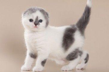 Шотландские вислоухие котята - описание породы. Как ухаживать и чем кормить шотландских вислоухих котят
