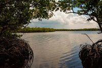 Manatí, querido Manatí, por lo que tú representas...: Romerillo de costa: una especie a proteger en Mana...