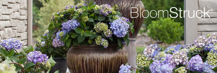 """BloomStruck Hydrangea -Meet BloomStruck®, the newest addition to the Endless Summer® Collection of re-blooming hydrangeas! As with all Endless Summer hydrangea varieties, BloomStruck will boast big, beautiful blooms all summer long, measuring 3.5 - 5"""" across."""