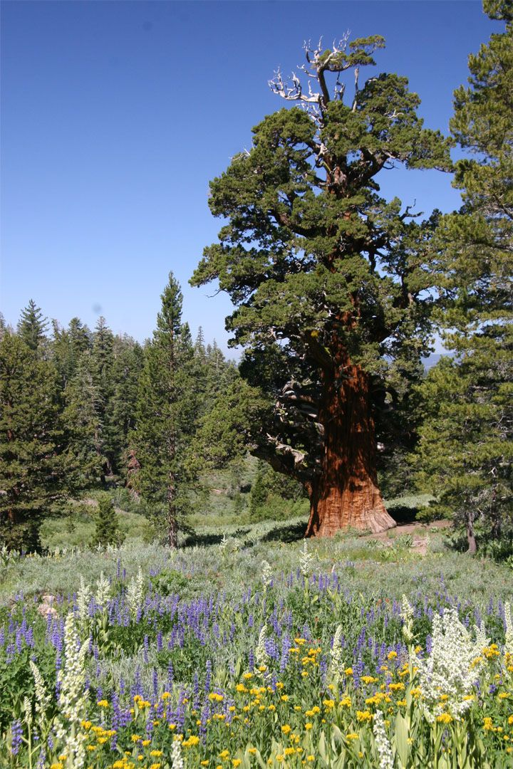 AFAR.com Highlight: Visiting one of the oldest trees in the world: The Bennett Juniper by J.P. Panter #Sonora #California