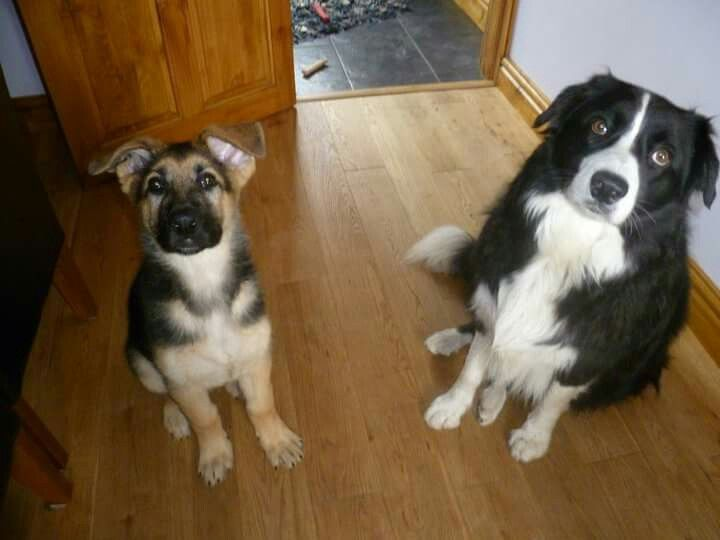 German shepherd pup & border collie