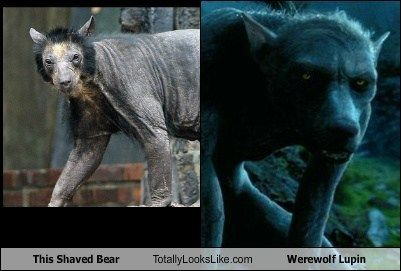 This Shaved Bear Totally Looks Like Werewolf Lupin