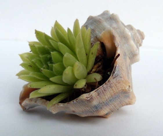 succulent in a shell