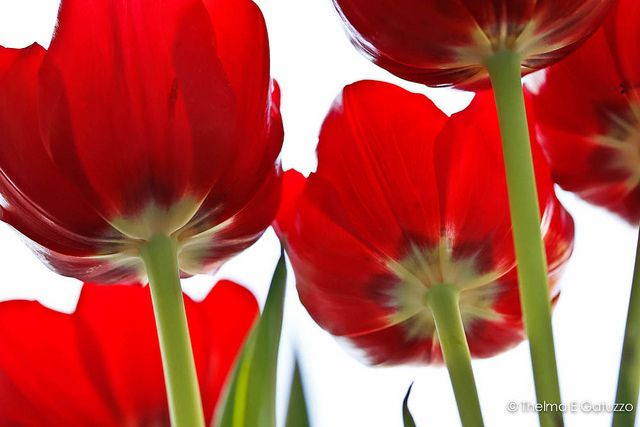 like it: Red Tulipsjpg, Photos Shared, Photography Inspiration