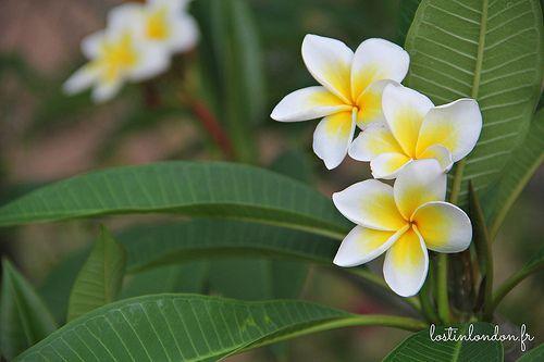 fleur de tiare - Mauritius