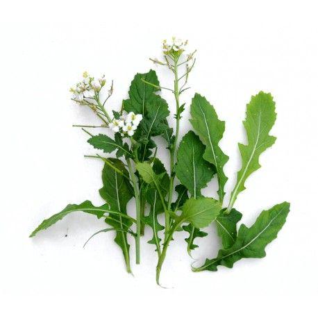 wasabi rucola / witte rucola