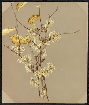From the collection at Andersen Horticultural Library. Agnes Williams (1860-1946), a watercolorist from Bucks Co., PA, created a wildflower portfolio during the 1880s and 1890s. Emma painted Hamamelis Virginica (Witch-Hazel) in New Hope, PA. It is dated November 3, 1884.