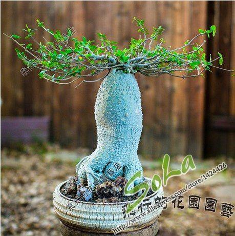 Cheap plant shoe, Buy Quality plant aquarium directly from China plant picture Suppliers: Tuberous root martian succulent seeds 3pcs/pack mini bonsai suculentas mini cactus plants sementes de flores for small