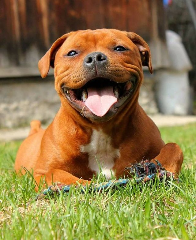 Pin By Robertkropik On Terery Staffy Bull Terrier Pit Dog Bully Dog