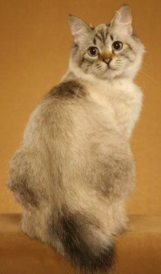 Nachural american bobtail cats