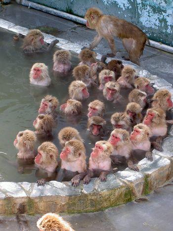 Hot spring monkeys. Japanese Macaques (Nihon zaru) of Jigokudani Yaen Koen (Snow Monkey Park), Yamanouchi town, Nagano, Japan