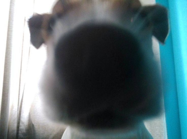 """Нос моей фокстерьерши Глаши - крошечная боксерская перчатка. А сама она - березовая чурочка"". Довлатов Photo by @sw_films #любовь #spring #jackrussellterier #jackrussell #jrtclub #jrt #instadog #dog #morning #doglovers #doglife #cute #terrier #peterburg #puppy #spb #saintpetersburg #довлатов #russia #весна #джекрассел #дрт #джекрасселтерьер #петербург #питер #сон #щенок #собака #спб #санктпетербург by leda_spb"