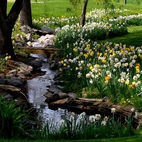 How picturesque, spring daffodils wind their way along the rocky-edged stream in the heart of springtime.  MacKenzie-Childs farm Aurora NY  Daffodils are my favorite!