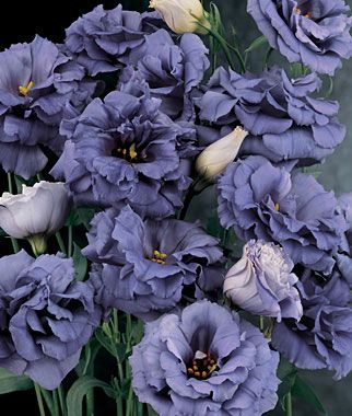 Lisianthus, Blue Rose lifecycle: Annual  Uses: Cut Flowers  Sun: Full Sun  Height: 18-22  inches Spread: 8-10  inches Sowing Method: Indoor Sow  Bloom Duration: 10  weeks