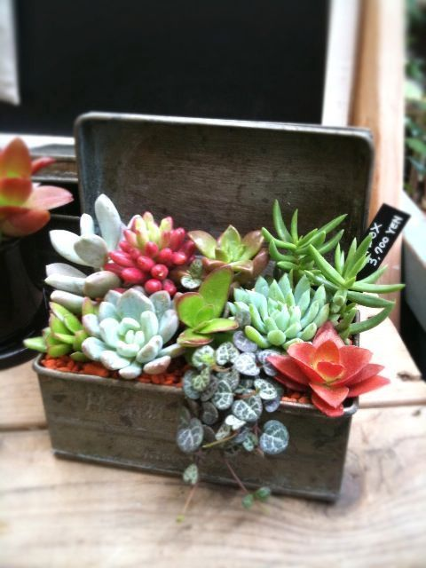 I adore succulents in vintage tin boxes