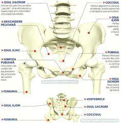 Imagini Bazin uman. Anatomia bazinului omenesc - Corpul Uman - Informatii medicale, diete de slabit, boli si afectiuni