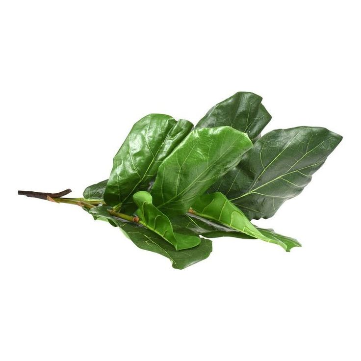 Large Fiddle Leaf Branch. Bring the outdoors inside with this on-trend branch. Stunning in sun rooms or for a refreshing relaxing addition to any room. Large glossy leaves that are very malleable and highly realistic