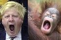 Orangutans that look like Boris
