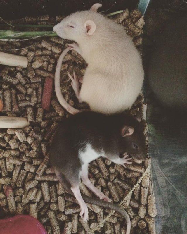 Like my rats ;<