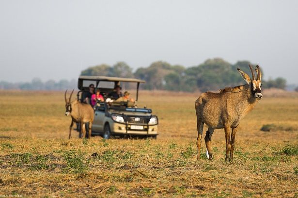 Enigmatic roan antelope seen on safari on Kafue's Busanga Plains