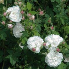 Mme Plantier - David Austin Roses
