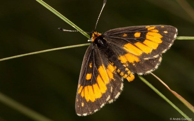 Earth Touch News Network - Hope for one of South Africa's most endangered butterflies
