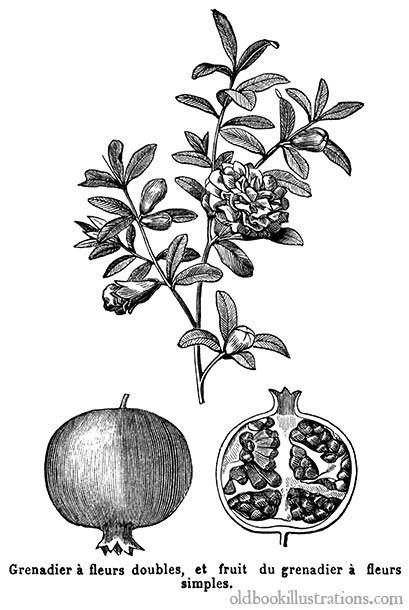 Illustration représentant un grenadier (Punica granatum), un arbre fruitier de la famille des Lythracées, cultivé depuis la plus haute Antiquité//old book illustrations