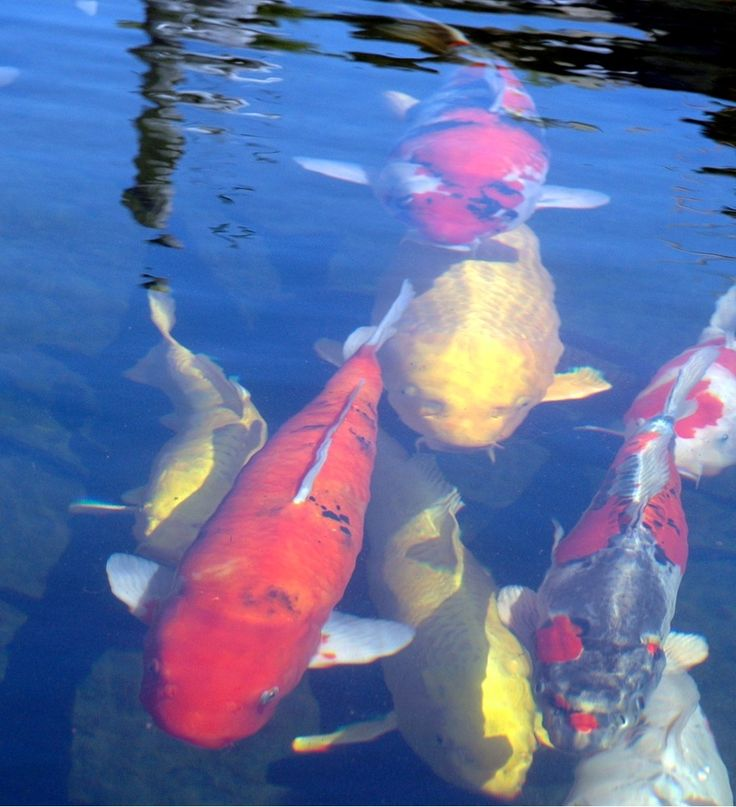 148 best images about koi tales on pinterest japanese for How much are koi fish worth
