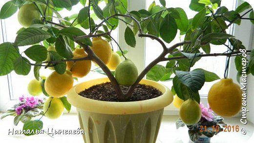 Приветствую всех, кто просил меня рассказать о том, как я выращиваю лимонное деревце в квартире. Мое увлечение лимоноводством началось лет 17-18 назад, когда мне подарили довольно большое деревце лимона, выращенного из косточки. Я его спилила, оставив пенечек высотой 4-5 см, и на него сделала прививку черенка лимона сорта Павловский. Черенок прижился и дал две хорошие ветки и даже зацвел. Первые цветы я регулярно удаляла. Дело в том, что для нормального плодоношения на один плод должно…