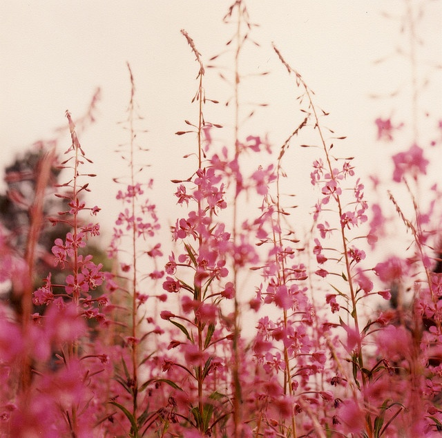 .: Stunning Photography, Pink Flowers, Funny Pictures, Peace, Alaska, Beautiful Flowers, Love Quotes, Messages, Fields