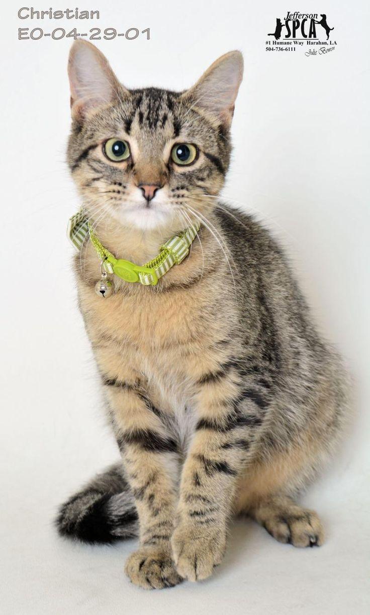 Adopt Christian on Petfinder Tabby brown, Brown cat, Tabby