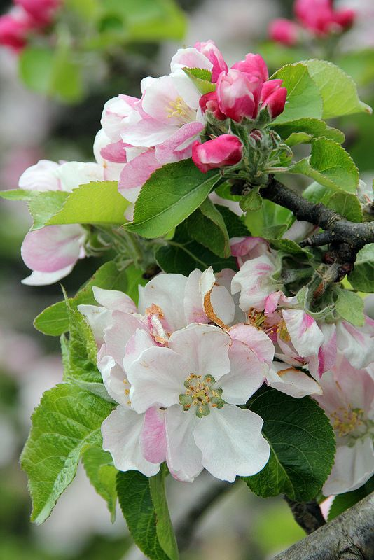 Spring Apple Blossom, Chichester City Wall