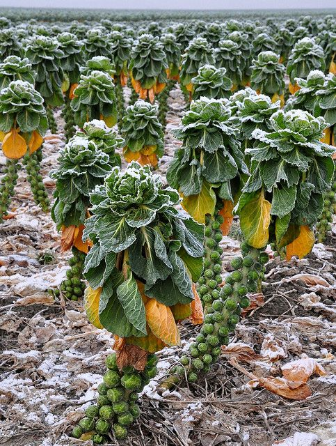 a field of Brussel Sprouts.  This farm girl, has never seen how they are grown !!!! Thanks for the post .