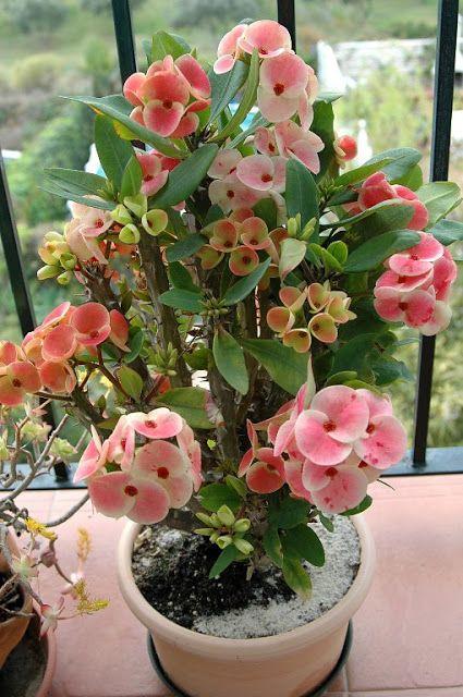 """FLORACIONES EN MÁLAGA Y MÁS: Euphorbia milii """"Siraya"""""""